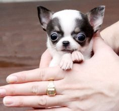 """Very sad and shocking! Please take time to read """"The Teacup Puppy Phenomenon"""" and learn about how teacup dogs get to be so tiny. Repin and share this vital information with others. Precious lives are at stake. (Click the picture and go to website for information)"""