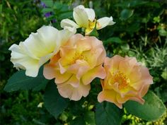 'Morden Sunrise ' Rose Photo
