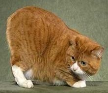Pictures of Manx Cats....
