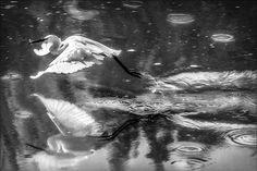"ph. © Renzo Baggiani ""La pesca della garzetta"" Ph, Painting, Fishing, Painting Art, Paintings"