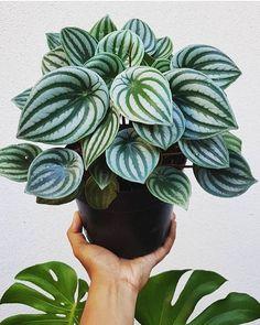 Webshop for House Plants - Online Houseplants ✔ House Plants Decor, Garden Plants, Vegetable Garden, Air Plants, Porch Plants, Plantas Indoor, Cactus Plante, Decoration Plante, Inside Plants