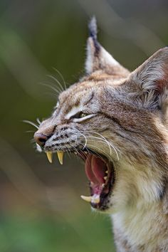 Profile of a yawning lynx | Flickr - Photo Sharing!