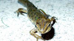 The smooth newt is an invasive species. Pictures: John Beniston