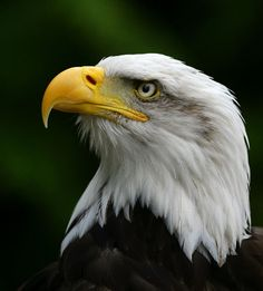 bald head eagle