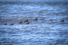 Excited to see this group of Hooded Mergansers haven't seen the large migrations this season yet... #hoodedmerganser #Merganser #duck #birds #birdwatching #migration #photo #photograph