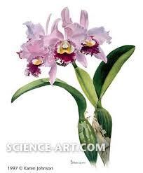 ผลการค้นหารูปภาพสำหรับ cattleya orchid
