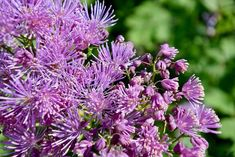 Purple Perennials, Flowers Perennials, Beautiful Flowers Garden, Replant, Soothing Colors, Green Landscape, Shades Of Purple, Backyard Landscaping, Shrubs