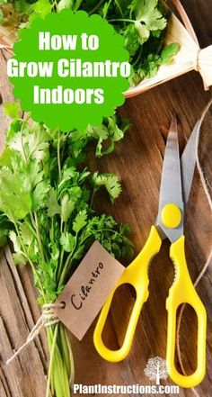 Gardening Herbs grow cilantro indoors - Today we'll be showing you how to grow cilantro indoors! Cilantro, also known as coriander, is one of those herbs that can give life to any meal! Organic Gardening, Gardening Tips, Indoor Gardening, Indoor Herbs, Urban Gardening, Indoor Plants, Cilantro Plant, Cilantro Growing, How To Grow Cilantro