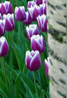 #tulip #flower #kosice