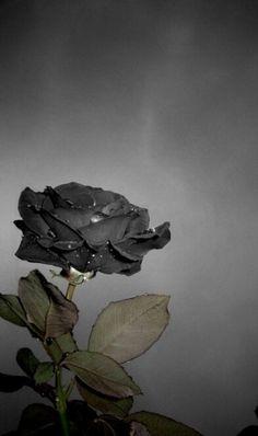 dark grey rose ✿⊱╮