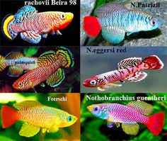 1000+ images about Killifish on Pinterest Clowns, Fish and Tropical ...