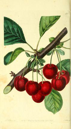 The Late Duke Cherry. The Pomological magazine v.1 London;J. Ridgway. Biodiversitylibrary. Biodivlibrary. BHL. Biodiversity Heritage Library