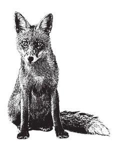 Fox illustration black and white