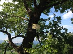 La grande quercia fra i filari - nella nostra proprietà la caccia é vietata - via libera a cervi, caprioli e ogni specie di uccelli! #biologico #ConeglianoValdobbiadene