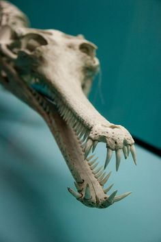 Skeleton of a Gharial (Gavialis gangeticus), also knows as the gavial. it is listed as critically endangered and has been given the ok to be used for profit breeding