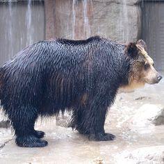 Ussuri Brown Bear | Ussuri Brown Bear Ursus arctos lasiotus (Gray, 1867)Regnum:Animalia ...