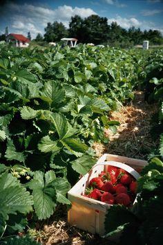 Strawberry Field (c) Lomoherz.de, lomo