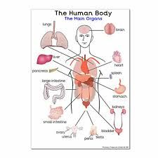 English worksheet hospital medical internal organs body parts image result for my body worksheets ccuart Gallery