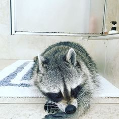 "The day after monologues ""No, no more leftovers..."" ""But I just want another 16 bites"" ""I will bite your paw off..."" ""It's still YOUR paw Pumpkin Van Gogh..."" ""Whatever, Oreo, warm up the gravy!"" #pumpkintheraccoon #raccoon #instagram #instalike #instagood #instadaily #pet #love #weeklyfluff"