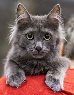 0e5265304ddb4b Turkish Angora cats are considered as one of the most outgoing and  affectionate cat breed.