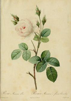 P. J. Redouté - Rosa Muscosa alba