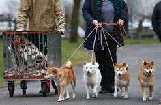 What kind of regal dogs are going for a walk here?