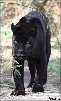 Female Jaguar (Panthera onca, #jaguar)..stunning.