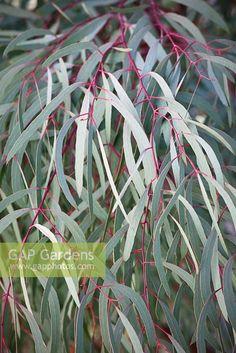 Image result for eucalyptus nicholii