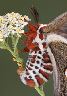 female cecropia moth laying eggs