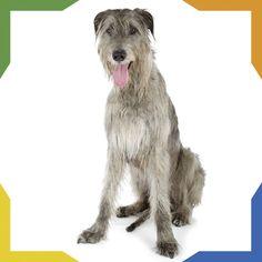 """El Lobero Irlandés proviene de Irlanda. Es el perro de estatura media más alto que existe; un ejemplar parado es sus patas traseras sobrepasa a un hombre de 1.80m de alto. Anteriormente era utilizado para cazar ciervos rojos y terminar con las plagas de lobos. A demás de su gran tamaño el Lobero Irlandés también posee gran valentía y fuerza. Su fidelidad y docilidad lo han hecho acreedor al apodo de """"gigantes amables"""". Irish Wolfhounds, Animals, Gentle Giant, Deer, Human Height, Ireland, Wolves, Strength, Animales"""