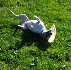 JACK RUSSELL TERRIER Jess was delighted with the frisbee she found today. If you are an active, terrier-savvy, adults only home, maybe Jess could bring her frisbee to play in your garden? Jack Russell Terrier, Garden Sculpture, Play, Outdoor Decor, Dogs, Pet Dogs, Doggies