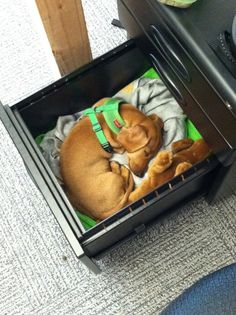 This dog who is comfortable and happy in their owner's desk drawer.