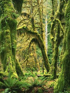 Moss covered Bigleaf Maples, Hoh Rain Forest, Olympic National Park, Washington, USA