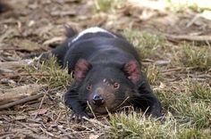 Tasmanian devil lying on the grass