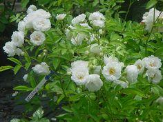 Yvonne Rabier, Turbat. Petit polyantha couvert de fleurs toute la saison. H 1m