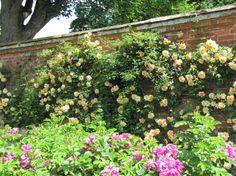 lady hillingdon rose - Google Search