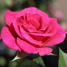 At Wyevale Garden Centres, you'll find a large selection of beautiful rose plants, which can be planted in flower beds or pots. Beautiful Flowers Pictures, Flower Pictures, My Flower, Flower Power, Rose Flowers, Planting Roses, Garden Roses, Types Of Roses, Rose Perfume