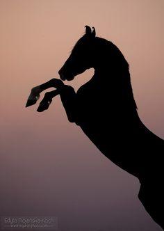 Marwari horse