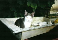 Szürke cica a teknőben Macival/Szürke with Maci are in the trough
