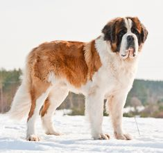 The Saint Bernard is truly a good-natured, friendly dog and loyal to his family. All infomation of Saint Bernard Dog Breed. Cute Dogs And Puppies, Baby Puppies, Big Dogs, I Love Dogs, Doggies, Chien Saint Bernard, St Bernard Puppy, Big Dog Breeds, Puppy Breeds