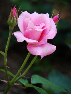 Rosa rosada, perfecta.