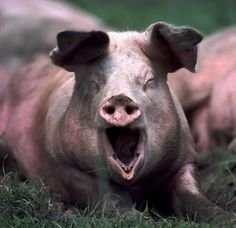 A large, dirty pig yawning while lying in the grass.