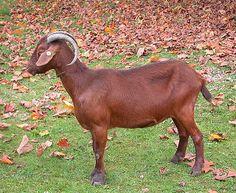 Cabra Bermeya