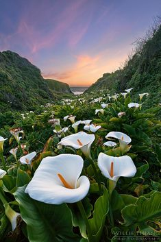 Calla lilies, Big Sur, California (not buying the authenticity of this image, but it is still pretty)