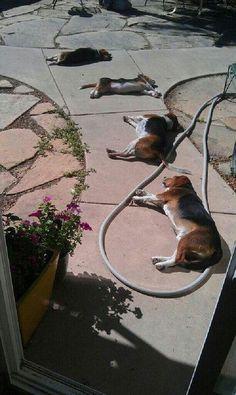 This cracks me up. All those beagles!