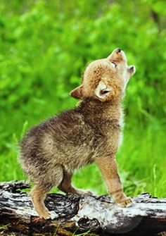 Baby wolf cry.