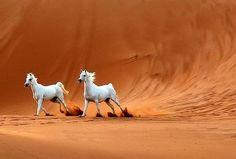 Chevaux arabes dans des dunes du désert.                                                                                                                                                                                 Plus