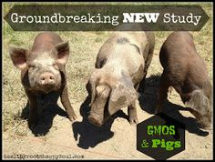 Healthy Roots, Happy Soul: Groundbreaking NEW Study On GMO's and Pigs!