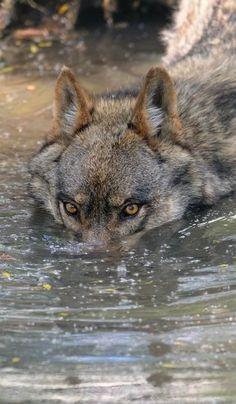 Los lobos pueden introducirse en el agua para cazar patos o pescado y alimentarse.