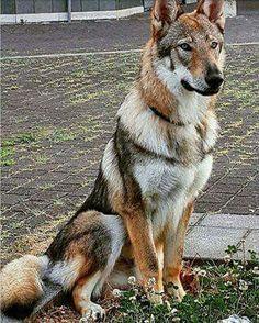 Dog And Puppies Diy Czechoslovakian Wolf-dog. What a beautiful animal!Dog And Puppies Diy Czechoslovakian Wolf-dog. What a beautiful animal! Beautiful Dogs, Animals Beautiful, Cute Animals, Wolf Dog Breeds, Big Dog Breeds, Wolf Hybrid Dogs, Wolfdog Hybrid, Pet Dogs, Dogs And Puppies